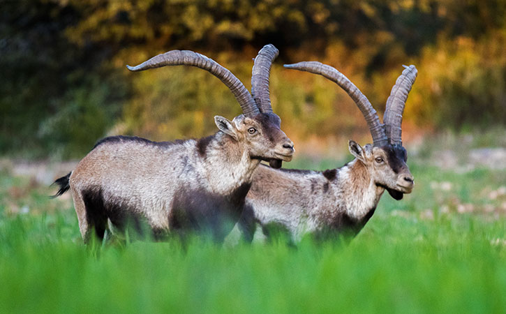 Cabras monteses