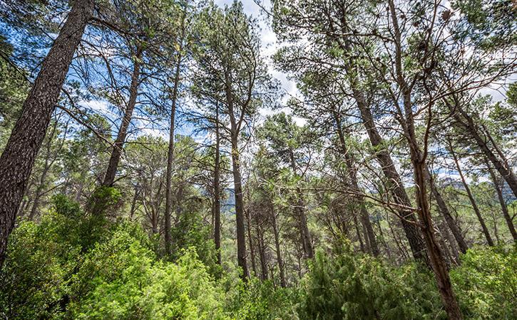 Bosques de pino blanco