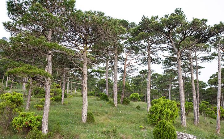 Bosques de pino salgareño o negral