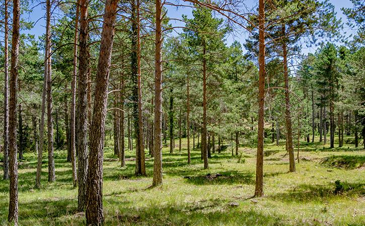 Bosques de pino silvestre