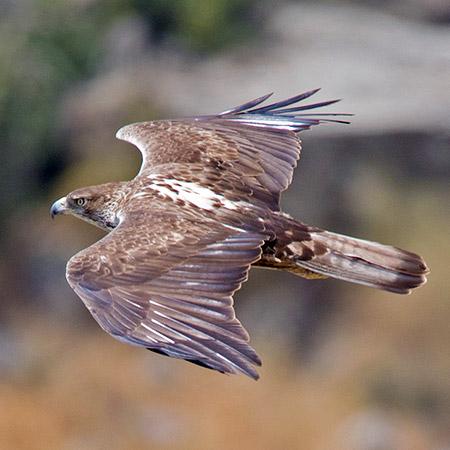 Águila azor perdicera