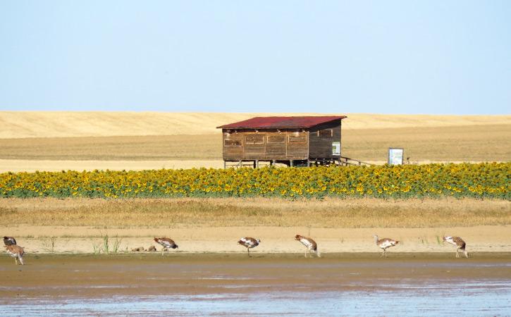Avistamiento de avutardas en campos agrícolas
